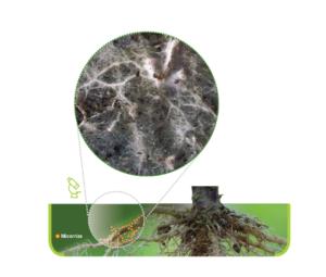 Azione delle micorrize